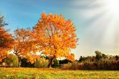 Όμορφο δέντρο φθινοπώρου με τα πεσμένα ξηρά φύλλα Στοκ Εικόνες
