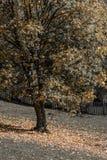 Όμορφο δέντρο φθινοπώρου σε ένα δασικό κάθετο φθινοπωρινό Sc βουνών Στοκ εικόνες με δικαίωμα ελεύθερης χρήσης