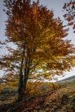 Όμορφο δέντρο φθινοπώρου σε μια δασική σκηνή φθινοπώρου βουνών με ομο Στοκ εικόνα με δικαίωμα ελεύθερης χρήσης