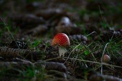 Όμορφο αγαρικό μυγών στο δασικό έδαφος στοκ φωτογραφίες