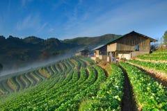 Όμορφο αγρόκτημα φραουλών και ταϊλανδικό σπίτι αγροτών στο λόφο Στοκ Εικόνες