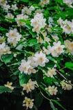 Όμορφο αειθαλές άσπρο jasmine λουλούδι στοκ φωτογραφία