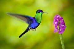 Όμορφο λαμπρό τροπικό πράσινο και μπλε πουλί, που στέφεται Woodnymp, colombica Thalurania, πετώντας επόμενο λουλούδι άνθισης TU ρ Στοκ Φωτογραφία