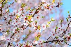 Όμορφο ανθίζοντας δέντρο βερικοκιών στοκ εικόνα με δικαίωμα ελεύθερης χρήσης