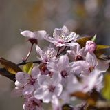 Όμορφο ανθίζοντας ιαπωνικό κεράσι Sakura Υπόβαθρο εποχής Υπαίθριο φυσικό θολωμένο υπόβαθρο με το ανθίζοντας δέντρο την άνοιξη SU Στοκ εικόνα με δικαίωμα ελεύθερης χρήσης
