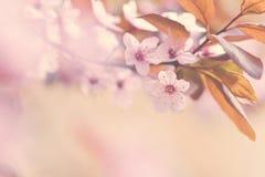 Όμορφο ανθίζοντας ιαπωνικό κεράσι Sakura Υπόβαθρο εποχής Υπαίθριο φυσικό θολωμένο υπόβαθρο με το ανθίζοντας δέντρο την άνοιξη Στοκ φωτογραφία με δικαίωμα ελεύθερης χρήσης