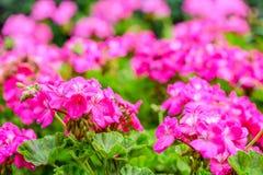 Όμορφο ανθίζοντας κόκκινο λουλούδι γερανιών με τα πράσινα φύλλα στο NA Στοκ Εικόνες