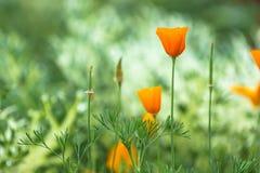 Όμορφο ανθίζοντας πορτοκαλί λουλούδι ανθών σε μια πράσινη φύση garde Στοκ Φωτογραφίες