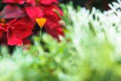 Όμορφο ανθίζοντας πορτοκαλί λουλούδι ανθών σε μια πράσινη φύση garde Στοκ φωτογραφία με δικαίωμα ελεύθερης χρήσης