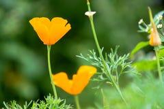 Όμορφο ανθίζοντας πορτοκαλί λουλούδι ανθών σε μια πράσινη φύση garde Στοκ Φωτογραφία