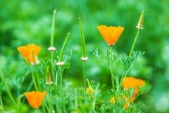 Όμορφο ανθίζοντας πορτοκαλί λουλούδι ανθών σε μια πράσινη φύση garde Στοκ εικόνα με δικαίωμα ελεύθερης χρήσης