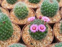 Όμορφο ανθίζοντας πορφυρό λουλούδι κάκτων Στοκ Φωτογραφία
