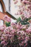 Όμορφο ανθίζοντας ρόδινο δέντρο μηλιάς ή κεράσι Στοκ εικόνες με δικαίωμα ελεύθερης χρήσης