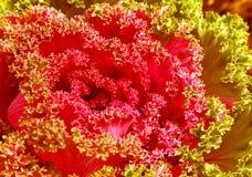 Όμορφο ανθίζοντας φυτό στο κρεβάτι λουλουδιών στο διακοσμητικό κήπο Στοκ Εικόνες