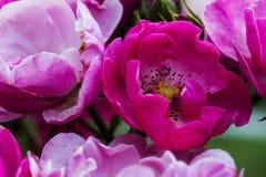 Όμορφο απομονωμένο ρόδινο λουλούδι κήπων αφηρημένη ανασκόπηση Διάστημα στο υπόβαθρο για το αντίγραφο, κείμενο, οι λέξεις σας Στοκ Εικόνες