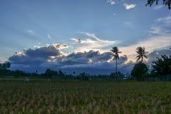 Όμορφο απόγευμα στους τομείς ρυζιού στοκ εικόνα