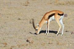 Όμορφο αρσενικό Thompson ` s gazelle Στοκ Εικόνες