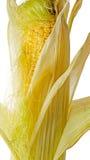 Όμορφο αυτί ενδυμάτων του καλαμποκιού στοκ φωτογραφίες με δικαίωμα ελεύθερης χρήσης
