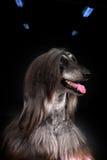Όμορφο αφγανικό σκυλί στο σκοτεινό υπόβαθρο Στοκ Φωτογραφίες