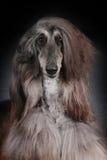 Όμορφο αφγανικό σκυλί στο σκοτεινό υπόβαθρο Στοκ εικόνες με δικαίωμα ελεύθερης χρήσης