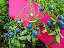 Όμορφο βακκίνιο Μπους με την ώριμη γλυκιά ανάπτυξη μούρων Στοκ Εικόνες