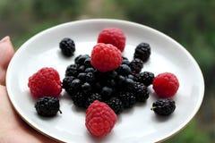 Όμορφο βακκίνιο σμέουρων μουριών τροφών Στοκ φωτογραφίες με δικαίωμα ελεύθερης χρήσης