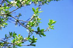 Όμορφο βερίκοκο λουλουδιών Κήποι και πάρκα φωτεινό ανθίζοντας πράσινο δέντρο άνοιξη φύσης κλάδων Στοκ Φωτογραφίες