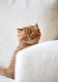 Όμορφο βρετανικό μακρυμάλλες γατάκι Στοκ φωτογραφίες με δικαίωμα ελεύθερης χρήσης