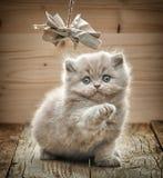 Όμορφο βρετανικό μακρυμάλλες γατάκι Στοκ Εικόνα