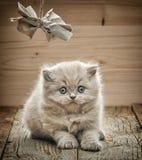 Όμορφο βρετανικό μακρυμάλλες γατάκι Στοκ εικόνα με δικαίωμα ελεύθερης χρήσης