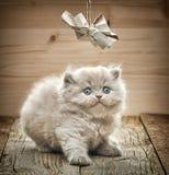 Όμορφο βρετανικό μακρυμάλλες γατάκι Στοκ Εικόνες