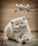 Όμορφο βρετανικό μακρυμάλλες γατάκι Στοκ εικόνες με δικαίωμα ελεύθερης χρήσης