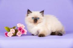 Όμορφο γατάκι καθαρής φυλής στοκ φωτογραφία με δικαίωμα ελεύθερης χρήσης