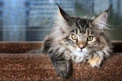 όμορφο γατάκι Νέα φυλή Μαίην Coon γατακιών ενάντια στο παράθυρο στοκ φωτογραφία