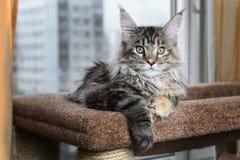 όμορφο γατάκι Νέα φυλή Μαίην Coon γατακιών ενάντια στο παράθυρο στοκ φωτογραφία με δικαίωμα ελεύθερης χρήσης