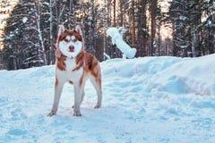 Όμορφο γεροδεμένο σκυλί χειμερινό δασικό σιβηρικό σε γεροδεμένο με την κόκκινη τρίχα Γεροδεμένος για τη διαφήμιση, κάλυψη περιοδι στοκ φωτογραφίες με δικαίωμα ελεύθερης χρήσης