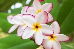 Όμορφο γλυκό άσπρο ρόδινο κίτρινο plumeria ή frangipani λουλουδιών Στοκ φωτογραφία με δικαίωμα ελεύθερης χρήσης