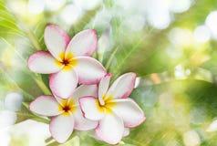 Όμορφο γλυκό κίτρινο ρόδινο και άσπρο plumeria λουλουδιών ή frangip Στοκ Φωτογραφίες