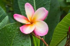 Όμορφο γλυκό ρόδινο plumeria λουλουδιών και φρέσκο πράσινο φύλλο με το ρ Στοκ φωτογραφία με δικαίωμα ελεύθερης χρήσης