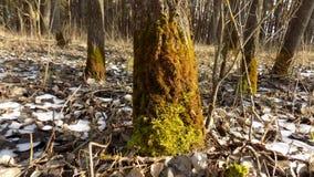 όμορφο δάσος ανασκόπησης 33c ural χειμώνας θερμοκρασίας της Ρωσίας τοπίων Ιανουαρίου Πράσινο κολόβωμα Στοκ εικόνες με δικαίωμα ελεύθερης χρήσης