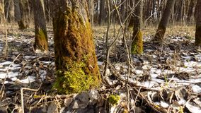 όμορφο δάσος ανασκόπησης 33c ural χειμώνας θερμοκρασίας της Ρωσίας τοπίων Ιανουαρίου Πράσινο κολόβωμα Στοκ Φωτογραφία