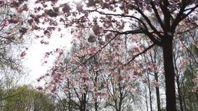 Όμορφο δέντρο ανθών κερασιών sakura το πρωί στο πάρκο νίκης της Ευρώπης Ρήγα - ρόδινα και τρυφερά χρώματα κρητιδογραφιών απόθεμα βίντεο