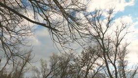 Όμορφο δέντρο ιτιών με το κιτρινισμένο φύλλωμα σε ένα υπόβαθρο του μπλε ουρανού φθινοπώρου με τα σύννεφα Περπάτημα μέσω του φθινο απόθεμα βίντεο