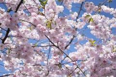 Όμορφο δέντρο λουλουδιών sakura στο μπλε ουρανό Στοκ φωτογραφίες με δικαίωμα ελεύθερης χρήσης