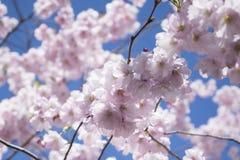 Όμορφο δέντρο λουλουδιών sakura στο μπλε ουρανό στοκ φωτογραφία με δικαίωμα ελεύθερης χρήσης