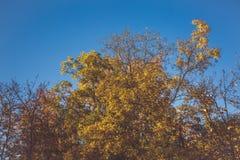 Όμορφο δέντρο με τα πορτοκαλιά φύλλα Στοκ Φωτογραφίες