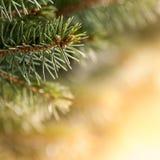 Όμορφο δέντρο πεύκων στοκ εικόνες