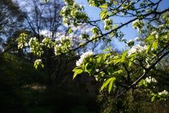 Όμορφο δέντρο της Apple ανοίξεων με τα άσπρα άνθη στην άνθιση Στοκ φωτογραφίες με δικαίωμα ελεύθερης χρήσης
