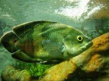 Όμορφο δείγμα των ψαριών του Oscar ocellatus Astronotus με ένα μεγάλο κίτρινο μάτι και φωτεινές κλίμακες στοκ φωτογραφίες με δικαίωμα ελεύθερης χρήσης