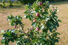 όμορφο διάνυσμα δέντρων απεικόνισης μήλων ώριμος περίπατος δέντρων κήπων καρπού ημέρας φθινοπώρου μήλων Ένωση της Apple σε έναν κ Στοκ φωτογραφία με δικαίωμα ελεύθερης χρήσης